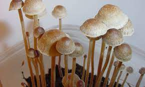 Start your adventure by trying the psilocybecubensis that the best online mushroom stores have